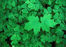 Green, clover, maple leaves