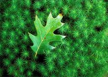 Moss, green, leaf