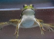 green frog, frog, rana clamitans melanota