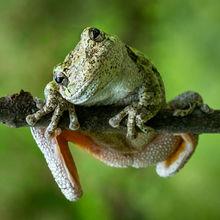 Grey Treefrog Puzzles