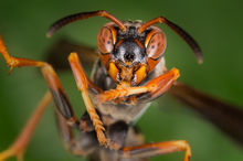 hornet, insect, macro