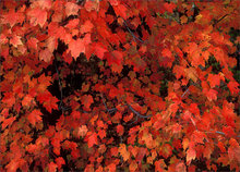 Red, maple leaves, autumn foliage