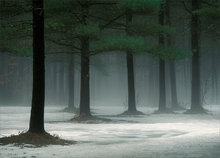 forest, wendell, fog, winter, Massachusetts, pine trees,