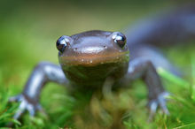 jefferson salamander, salamander, mole salamander, massachusetts, amphibian, Ambystoma jeffersonianum vernal pool, spring migration,