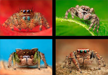Jumping Spiders (4 images)