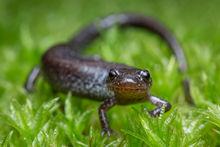 Plethodon cinereus, leadback, red-backed salamander, patrick zephyr, salamander, forest, liftlogs