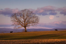 Hadley, Tree, Massachusetts, moonset, dawn, pink, Patrick Zephyr, cows