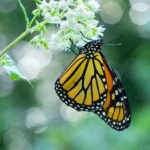 Monarch Puzzles