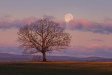 tree, dawn, moonset, pink, Hadley, Massachusetts, Patrick Zephyr