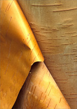 Birch bark, paper birch,