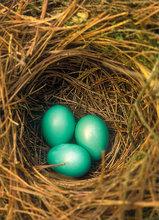 Eggs, nest, green