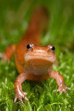 Gyrinophilus porphyriticus, Northern Spring Salamander, spring salamander, amphibian, Massachusetts, Patrick Zephyr