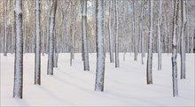 winter, snow, trees, amherst, massachusetts,