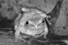 Amphibian, frog, spring peeper, hyla crucifer, tree frog,