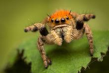 jumping spider, phidippus, salticidae, macro, patrick zephyr, spider, arachnid, phidippus apacheanus
