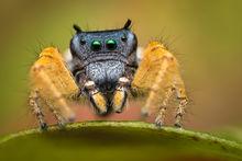 jumping spider, phidippus, salticidae, macro, patrick zephyr, spider, arachnid, phidippus arizonensis