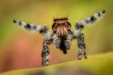 phidippus, asotus, jumping spider, salticidae, arachnid, courtship, arizona, macro, nature