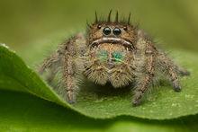 jumping spider, phidippus, salticidae, macro, patrick zephyr, spider, arachnid, mexico