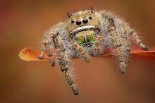 phidippus texanus, phidippus, jumping spider, spider, arachnid, salticidae, macro, nature,