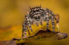 phidippus, asotus, phidippus asotus, arizona, jumping spider, salticidae, spider, arachnid, macro, nature