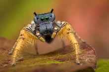 phidippus, phidippus arizonensis, texas, jumping spider, salticidae, spider, arachnid, macro, nature