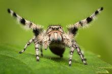 phidippus, adumbratus, courtship, jumping spider, arachnid, salticidae, california, macro, nature