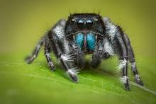 jumping spider, phidippus, salticidae, macro, patrick zephyr, spider, arachnid, phidippus johnsoni