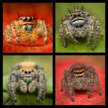 Phidippus 1  Jumping Spiders Coaster Set