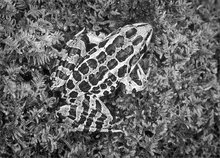Pickerel frog, frog, amphibian, rana palustris