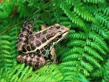 amphibian, herp, frog, toad, anura, Rana palustris, pickerel frog