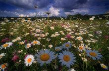 daisies, field, hadley, massachusetts, flowers