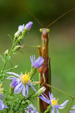 praying mantis, mantid, chinese mantis, massachusetts, macro insect, alien, patrick zephyr