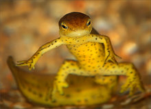 amphibian, herp, Notopthalmus viridescens, newt, red spotted newt