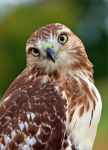 Red tailed hawk, bird, hawk