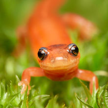 Redback Salamander Puzzles