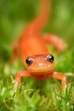 redback salamander, salamander, red phase, Massachusetts, Plethodon cinereus, Patrick Zephyr, nature photography,