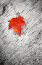 red, maple, leaf, birch, simple, autumn, foliage, patrick zephyr