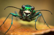 Cicindela sexguttata, tiger beetle., six-spotted tiger beetle, insect, beetle, green, metallic,