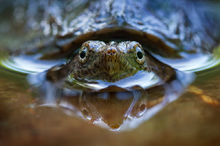 snapping turtle, reflection, turtle, massachusetts, Chelydra serpentina