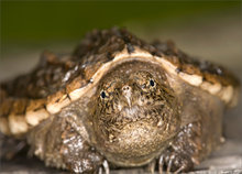 turle, snapping turtle, Chelydra s. serpentina