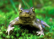 amphibian, herp, frog, toad, Scaphiopus holbrookii, spadefoot toad, anura