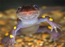 spotted salamander, ambystoma maculatum, amphibian, salamander, herp