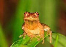 frog, treefrog, hyla crucifer, spring peeper, amphibian
