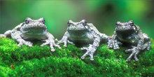 Amphibians, tree frogs, frogs, hyla versicolor,