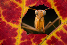praying mantis, mantid, chinese mantis, autumn, leaf, window,