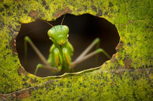 praying mantis, mantid, chinese mantis, green, leaf, window,