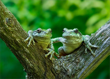 amphibian, herp, frog, toad, anura, Hyla versicolor, gray treefrog