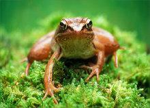 amphibian, herp, frog, toad, anura, Rana sylvatica, wood frog