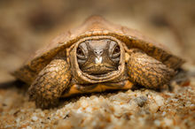wood turtle, hatchling, Glyptemys insculpta