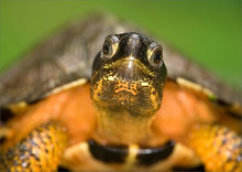 turle, Clemmys insculpta, wood turtle